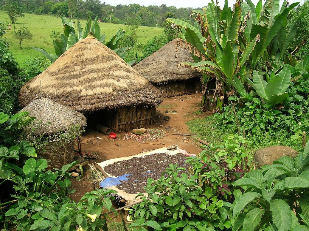 Etiopia - suszenie kawy
